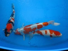 Holland Koi Show in Arcen 2015 - 041
